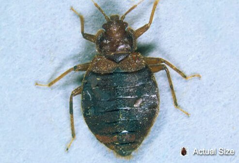 An adult bedbug at actual size  and magnified for a closer look. Bed Bug Bites  Fighting Back Against Bedbugs