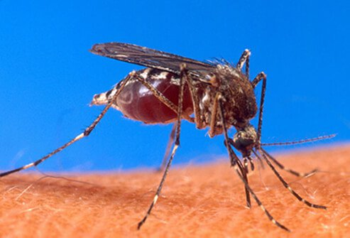 A carrier of the Chikungunya virus, shown here is an Aedes mosquito biting a hand.
