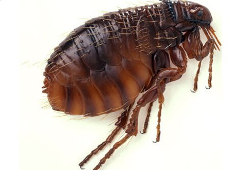 A close up side view of a cat flea.