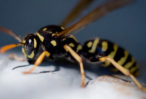 A photo of a yellow jacket wasp that can inflict multiple stings.