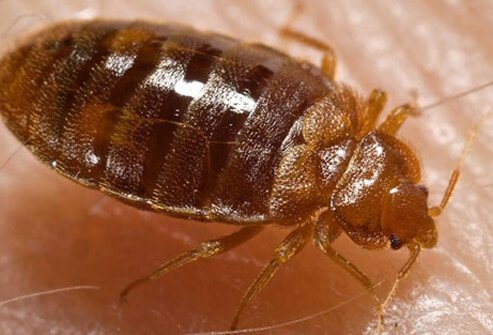 Bed bugs cause itchy bites and infest bedding, furniture, and other household objects.