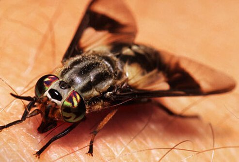 A close up of a deerfly biting into human skin.