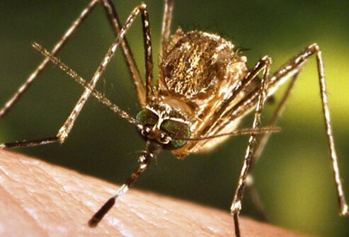 A close-up of mosquito feeding on human skin.