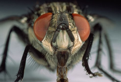 A close up of a housefly or domestic fly (Musca domestica) which can carry harmful bacteria.