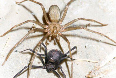 Spider Bites Black Widow Vs Brown Recluse First Aid