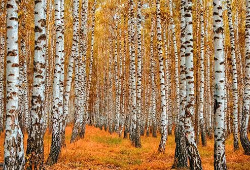 If it's spring and you're sneezing, birch might be part of the problem'