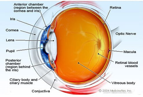 Illustration showing the anatomy of the human eye.