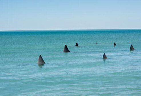 Photo of shark fins in water.