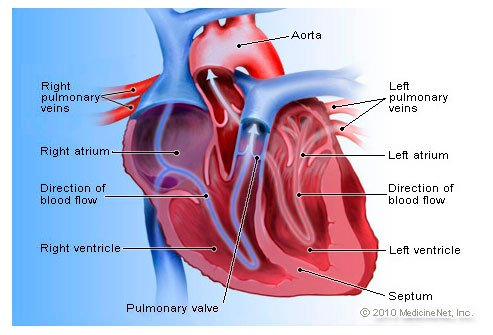 Heart disease symptoms signs and causes understanding how the heart works ccuart Images