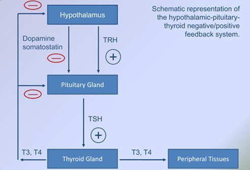 Schematic representation of the hypothalamic-pituitary-thyroid negative/positive feedback system.