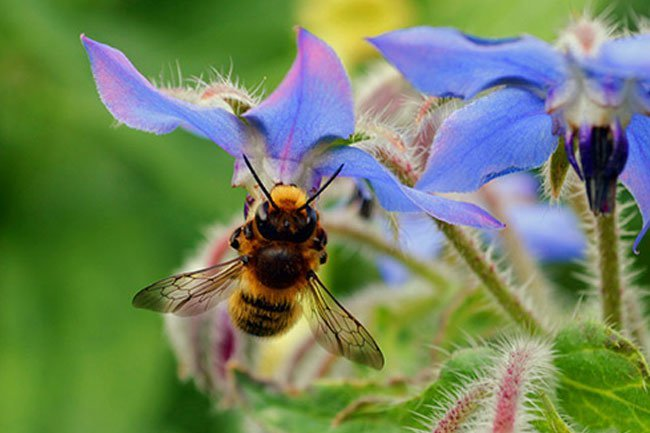 Bee venom therapy has been used for centuries in Asia.