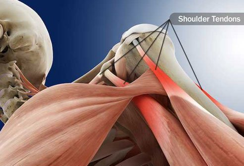 Your tendons are cords that attach muscle to bone.
