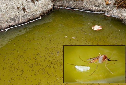 West Nile Virus Infection Causes Symptoms And Treatment